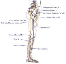 Nerves In The Knee Anatomy Emerald Coast Pain Services