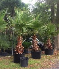 mexican fan palm growth rate palm tree types cold hardy palms bamboo