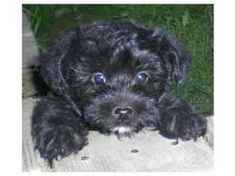 affenpinscher for sale ohio toy poodle puppies in ohio