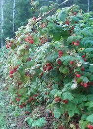Rasberry Trellis We U0027re In The Berries Bramble And Berry Farm