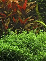 Tropical Aquatic Plants - live tropical aquarium plants for aquascaping delivered choose