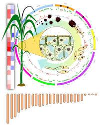 complete genome sequence of sporisorium scitamineum and biotrophic