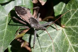 A Bite Of North America by Wheel Bug Wikipedia
