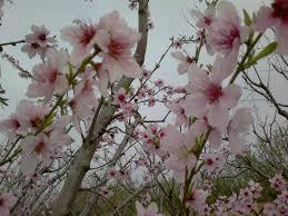 Peach Flowers File Peach Flowers 1 Jpg Wikimedia Commons