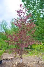 beech tricolor creekside tree nursery