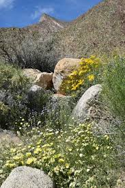 anza borrego wildflowers desert wildflowers picture of anza borrego desert state park