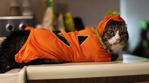 funny cat in orange costume wallpaper http www gbwallpapers