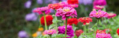 Zinnia Flowers Zinnia Seeds Grow Beautiful Flowers 1 95 Sarah Raven