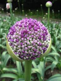 allium flowers allium giganteum allium is a monocot genus of flowering plants