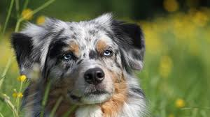 australian shepherd b c build your perfect truck and we u0027ll tell you which dog to adopt