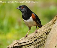 Tennessee birds images Tennessee watchable wildlife eastern towhee habitat grassland jpg