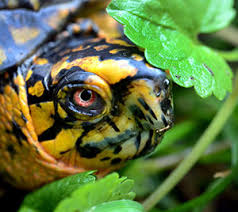 Blind Turtle Prices Dnr Eastern Box Turtle
