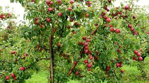 how to grow plant and harvest apple trees gardening tips youtube