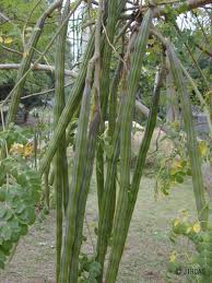 jircas moringa oleifera local vegetables of thailand color