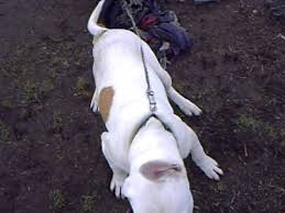 american pitbull terrier gator master gator pit american pit youtube