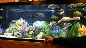 Beautiful Home Fish Tanks by Thank You A View Of My Beautiful 125 Gallon African Cichlid