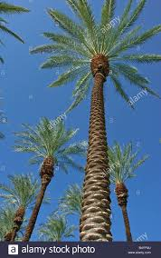 native southern california plants palm trees california palm tree s ca fan palm native california