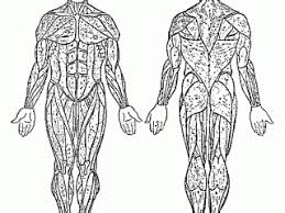 muscular system coloring pages muscular system coloring pages