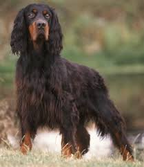 types of setter dog breeds gordon setters what s good about em what s bad about em