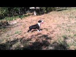 american pitbull terrier puppies for sale uk pui bull terrier de vanzare bull terrier puppies for sale youtube