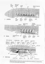 shark gill circulation