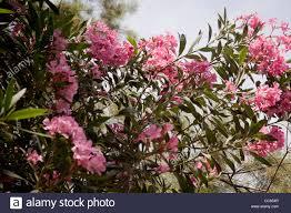 Flowering Cherry Shrub - flowering cherry tree blossom in tel aviv israel stock photo
