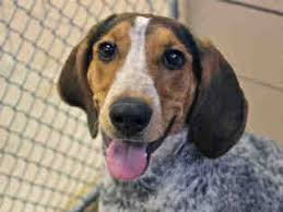 6 month old bluetick coonhound weight bluetick coonhound dogs for adoption in usa