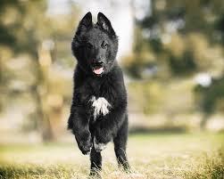 belgian sheepdog groenendael dog training a belgian shepherd groenendael