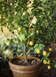 how to grow meyer lemon trees in garden pots