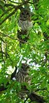 barred owls in a tree in my backyard cute animals pinterest