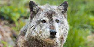 resources for royalty free wolf images at yellowstone wolf