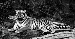 black and white tiger by mialepson on deviantart