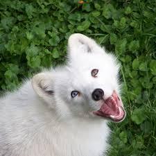 american eskimo dog nz home tc nz
