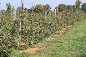 apple trees with stakes stock photo image of stake garden 34523052