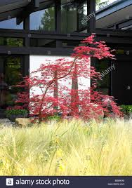 a acer tree sitting in ornamental grasses stock photo royalty