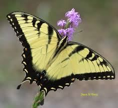 florida native butterfly plants florida native plant society blog