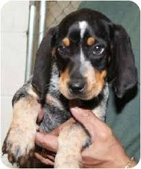bluetick coonhound sale blueberry adopted puppy dallas tx bluetick coonhound mix