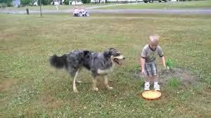 australian shepherd frisbee austrailian shepard frisbee youtube