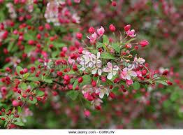 Profusion Flowering Crabapple - crabapple trees stock photos u0026 crabapple trees stock images alamy