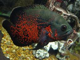 26 best cichlids images on pinterest tropical fish cichlids and