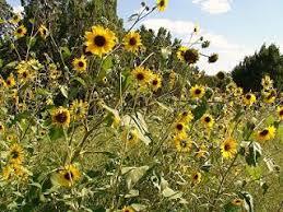 25 unique black oil sunflower seeds ideas on pinterest black