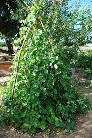 How To Grow Green Beans On A Trellis Growing Green Beans Planting Green Beans