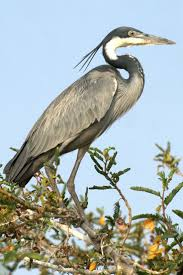 Heron Meaning by 12 Best Heron Images On Pinterest Blue Heron Herons And
