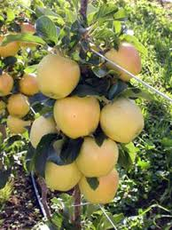 garden delicious apple southern apple trees standard