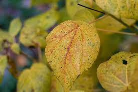 What Is The Meaning Of The Hibiscus Flower - yellow hibiscus leaves how to fix yellowing leaves on hibiscus