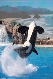 Whale Seaworld U0027s New Killer Whale Show Doesn U0027t Impress Fans Daily Mail