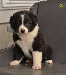 australian shepherd yahoo answers fashion australian shepherd puppy for sale in millersburg oh