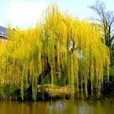 buy weeping willow tree from ty ty nursery