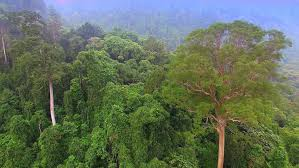 sacred tree l tapang l rainforest l borneo l dji phantom 3 l