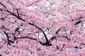 pink flower tree 5 seeds home garden plant japanese cherry tree pink white cloud